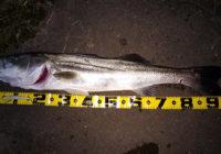 秋田県米代川シーバス釣果1
